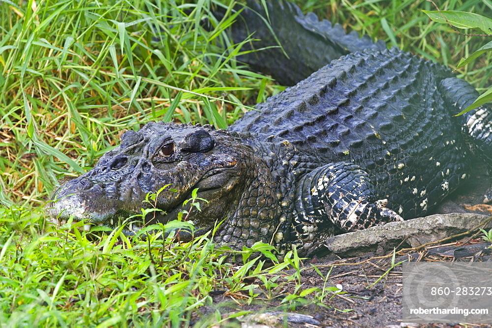Black Caiman on river bank, Amazonas Brazil
