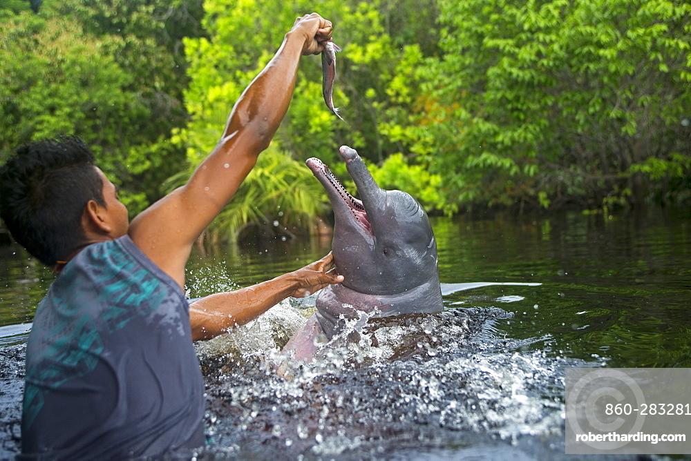 Man feeding a dolphin of the Amazon, Brazil Rio Negro