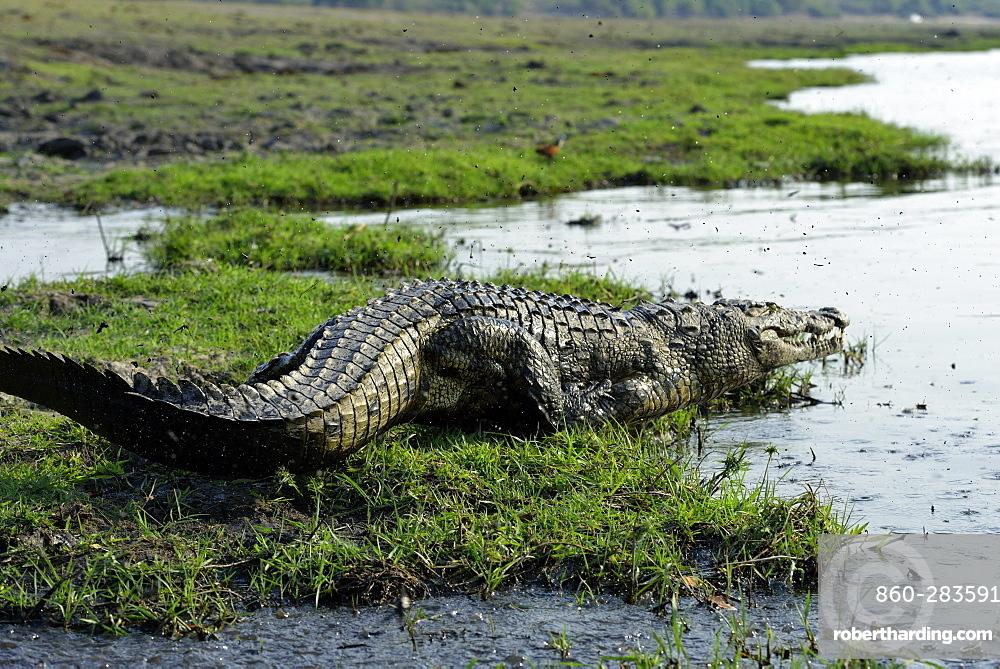 Nile crocodile on the bank, Chobe Botswana