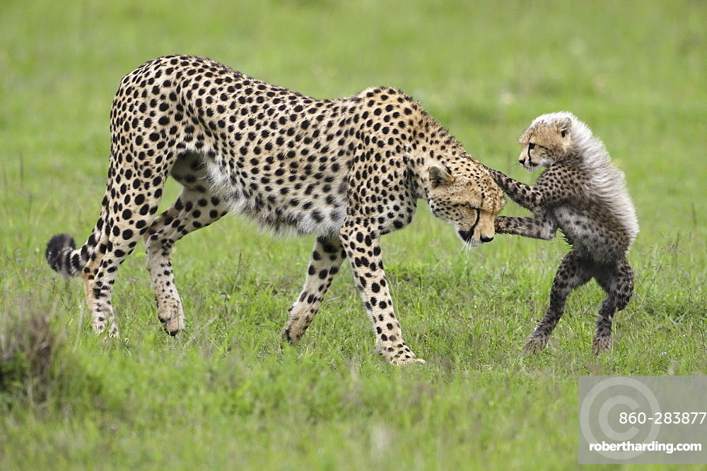 Cheetah and young in savanna, East Africa