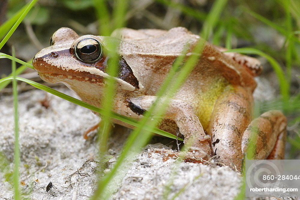 Grass frog roadside, France