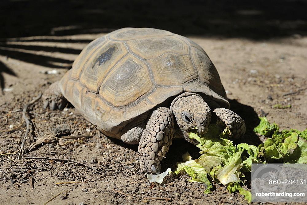 Chaco tortoise eating salad, Argentina