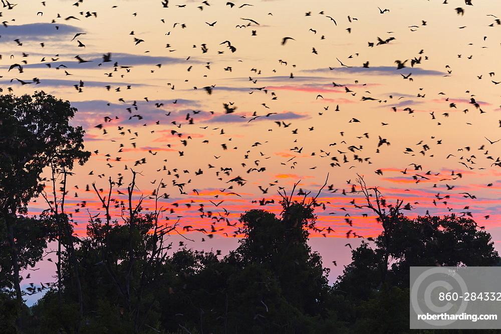 Straw-coloured fruit bat migration, Kasanka NP Zambia