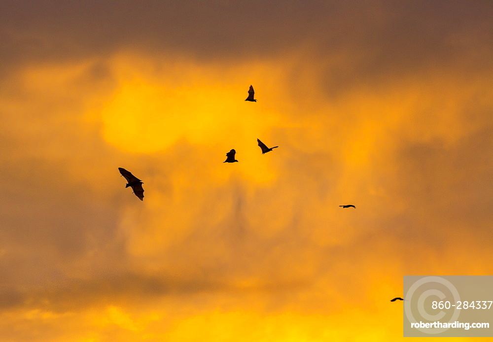Straw-coloured fruit bat migration, Kasanka NP Zambia