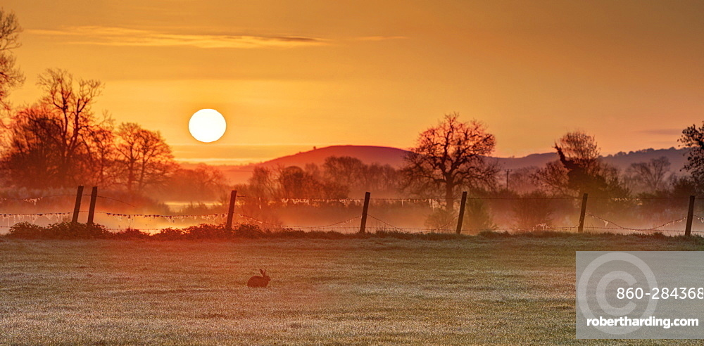 Brown Hare in a meadow at sunrise at spring, GB