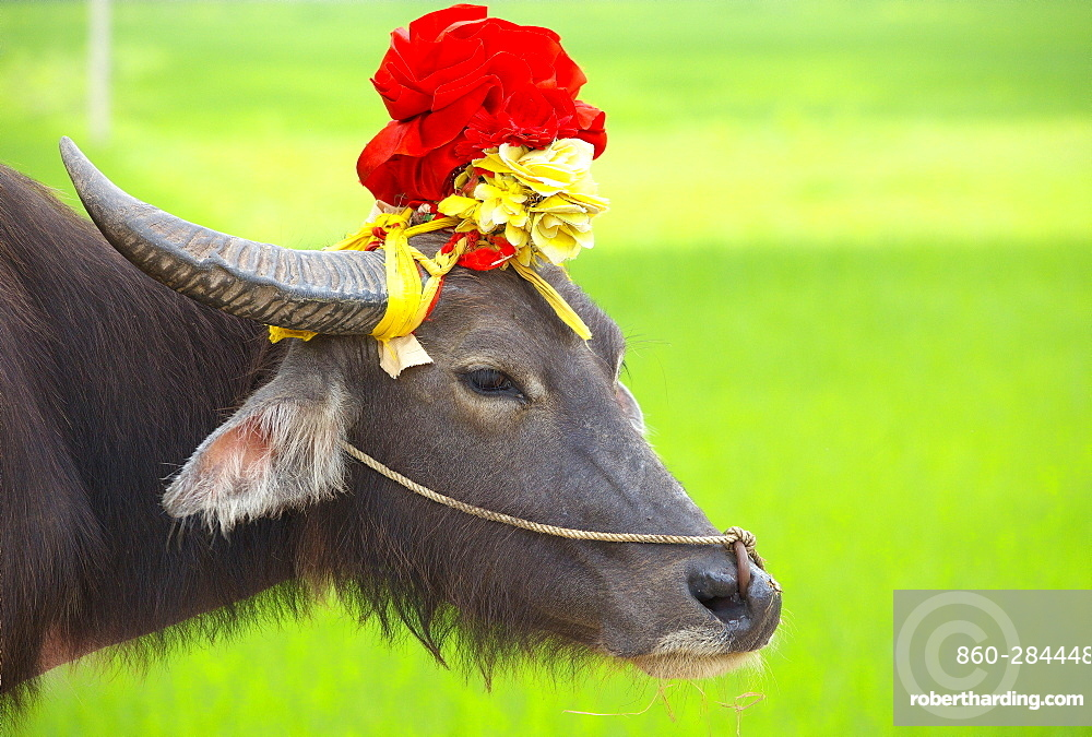 Domestic yak decorated, Region Ninh Binh Vietnam