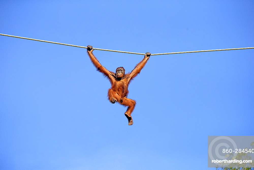 Borneo orangutan hanging on a rope, Malaysia