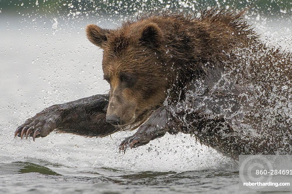 Brown Bear fishing a Salmon, Kuril Lake Kamchatka Russia