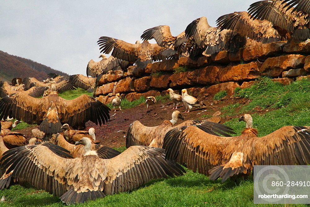 Griffon vultures on ground with wings spread, Spain