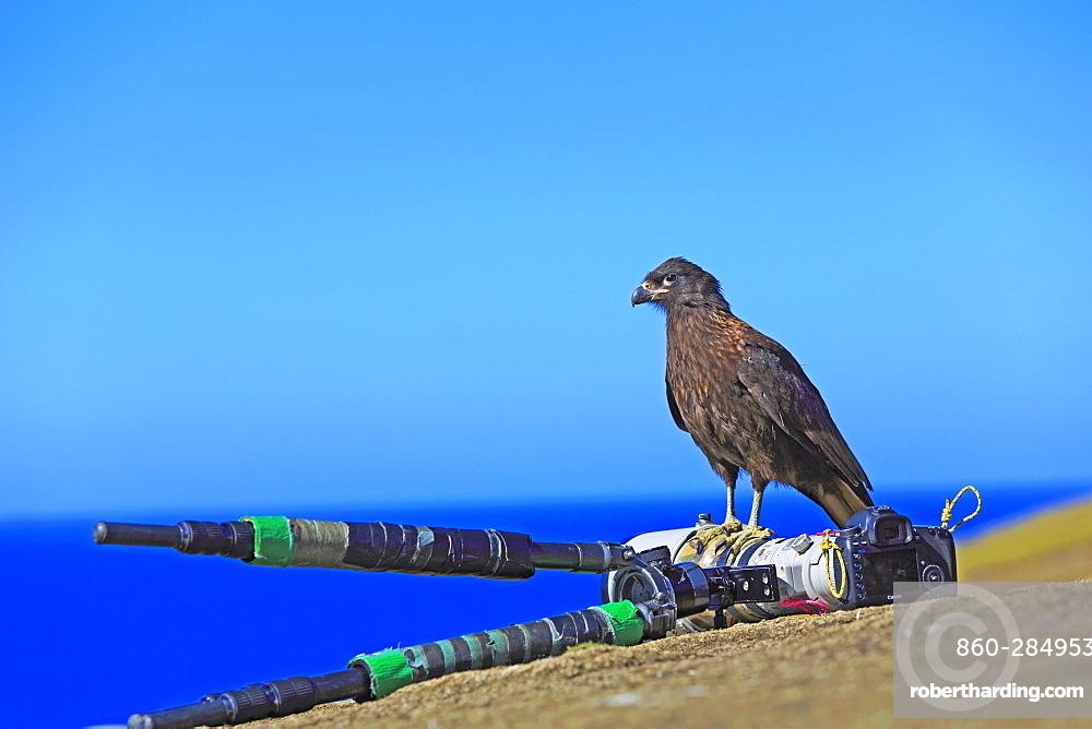 Striated caracara on a camera, Falkland islands