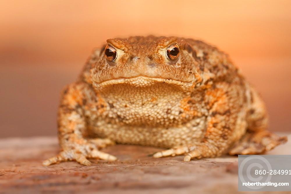 Portrait of European Toad, Northern Vosges France