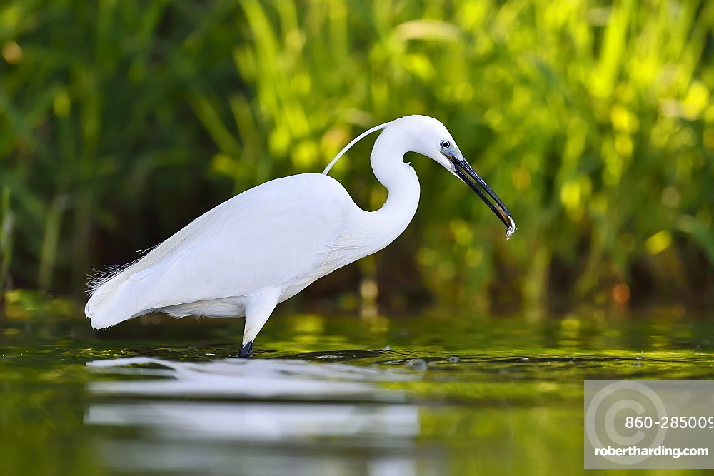 Little Egret catching a fish, Dombes France