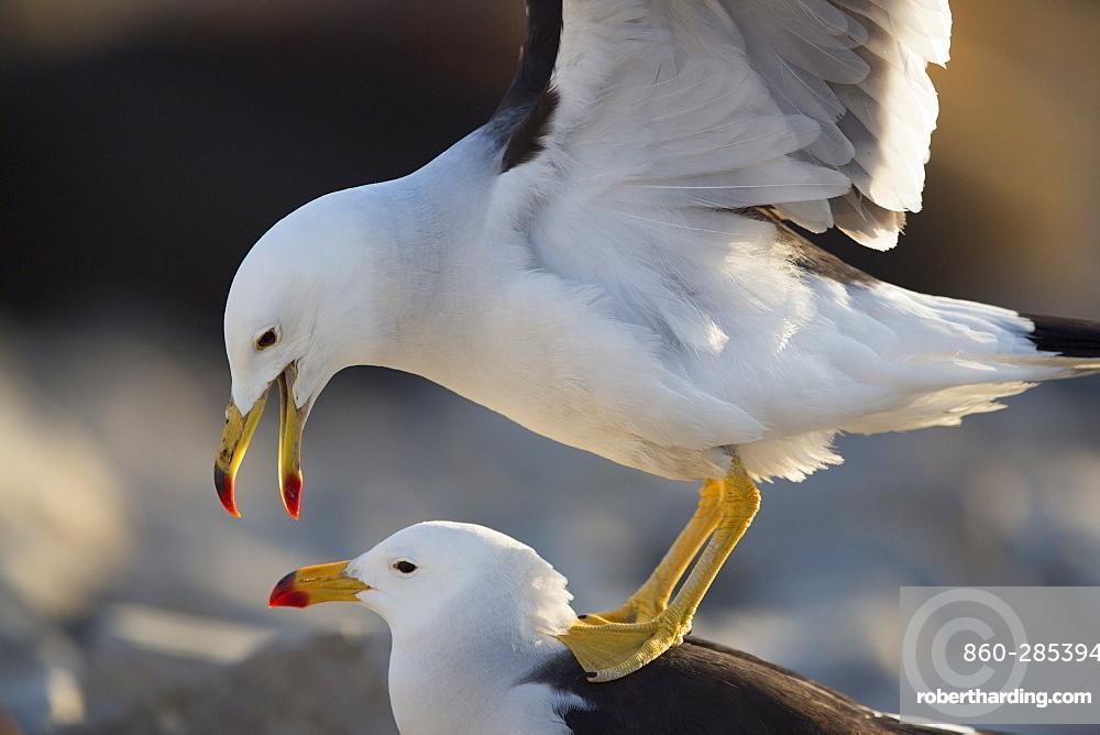 Belcher's gulls mating, Punta San Juan Peru