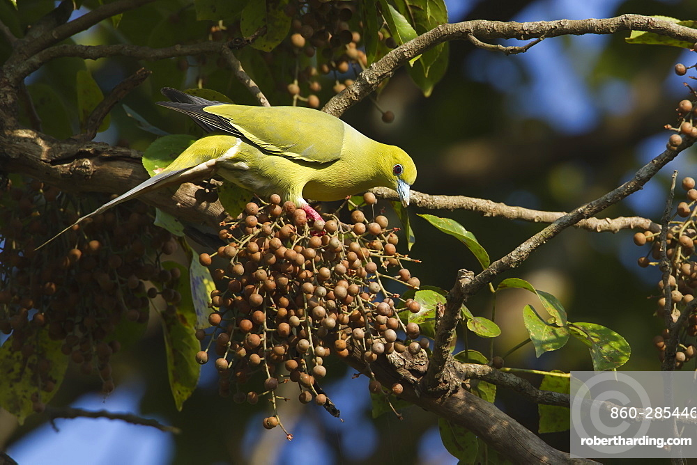 Pin-tailed green pigeon eating fruits-Royal Bardia NP Nepal