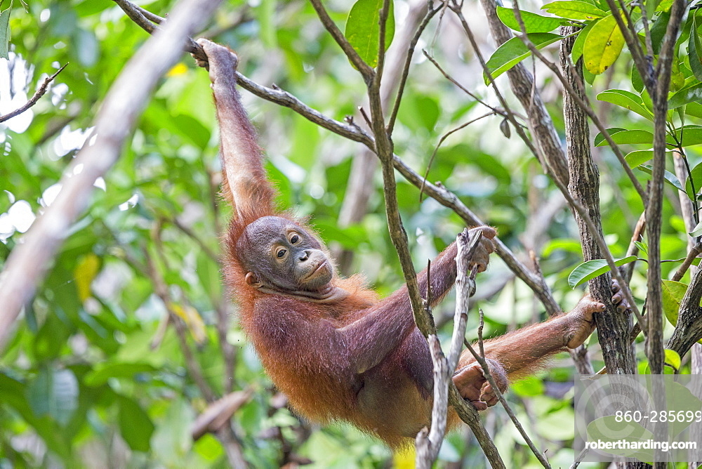 Young orangutan hanging, Sepilok Borneo Malaysia