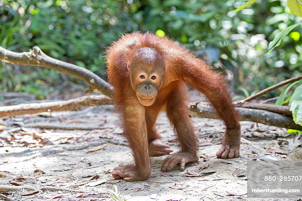 Young orangutan walking on ground, Sepilok Borneo Malaysia