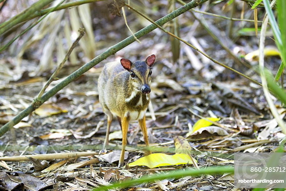 Lesser mouse deer undergrowth, Kinabalu Sabah Malaysia