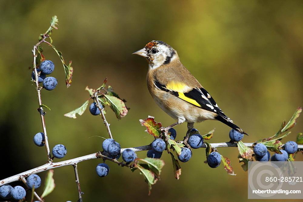 Goldfinch on sloe berries, Midlands UK