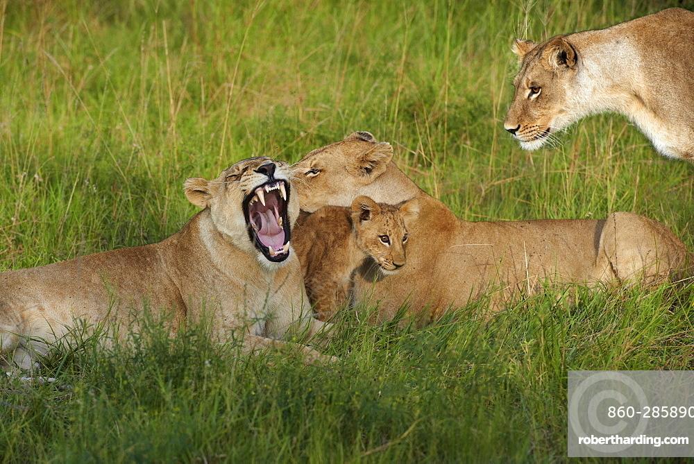 Lioness and cub lying in the grass, Botswana Okavango