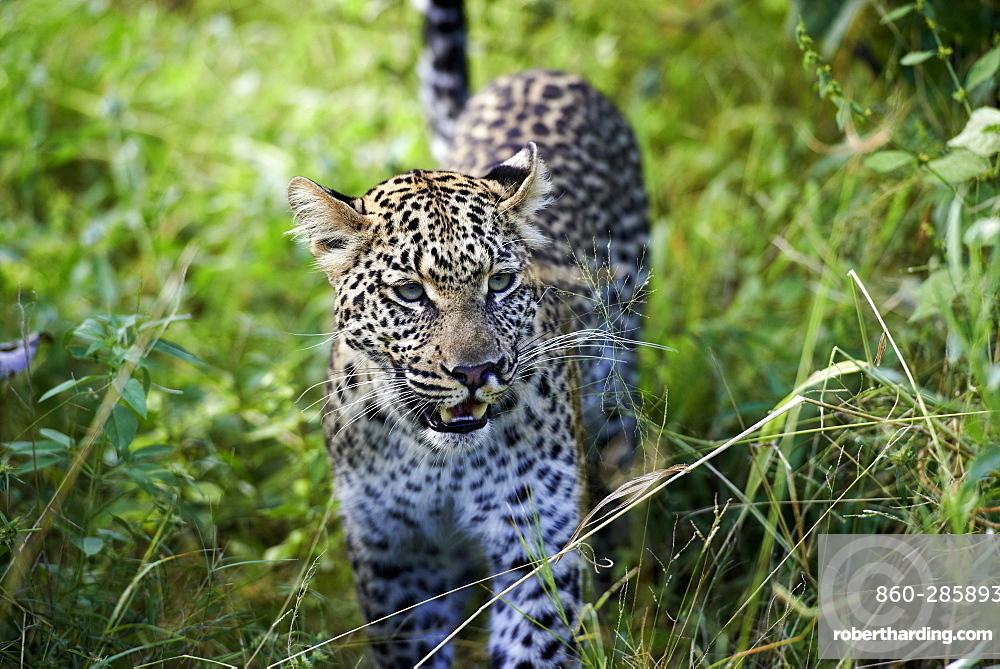Leopard in the tall grass, Okavango Botswana