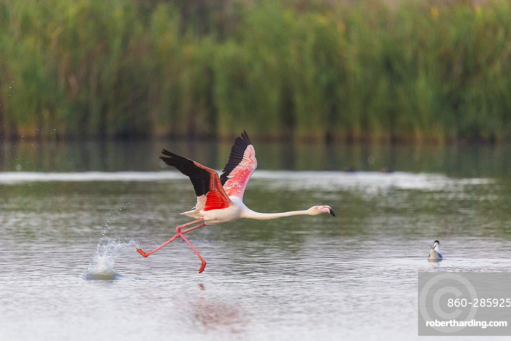 Rosy Greater Flamingo flying away, Camargue France