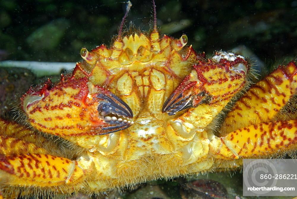 Portrait of Helmet Crab on reef, Pacific Ocean Alaska USA