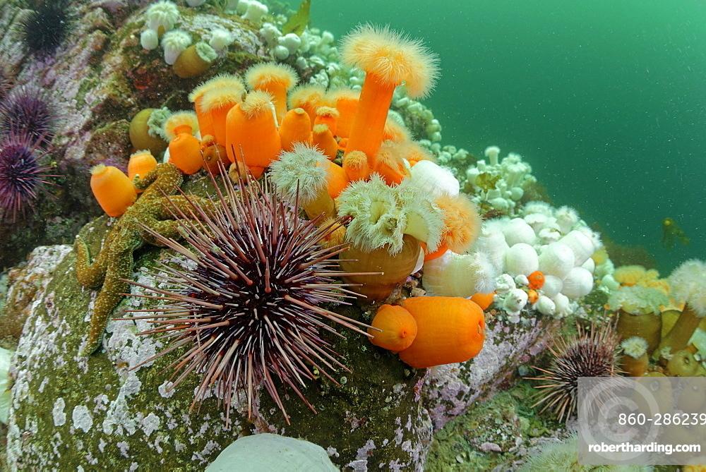 Plumose Anemones and Urchins, Pacific Ocean Alaska