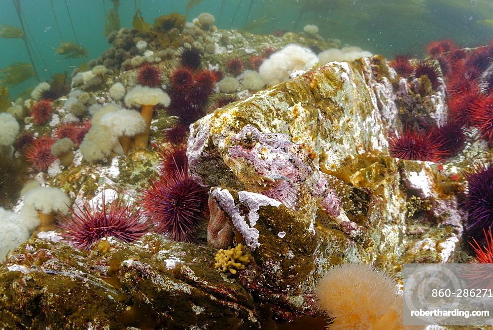 Brown Irish Lord on reef, Pacific Ocean Alaska