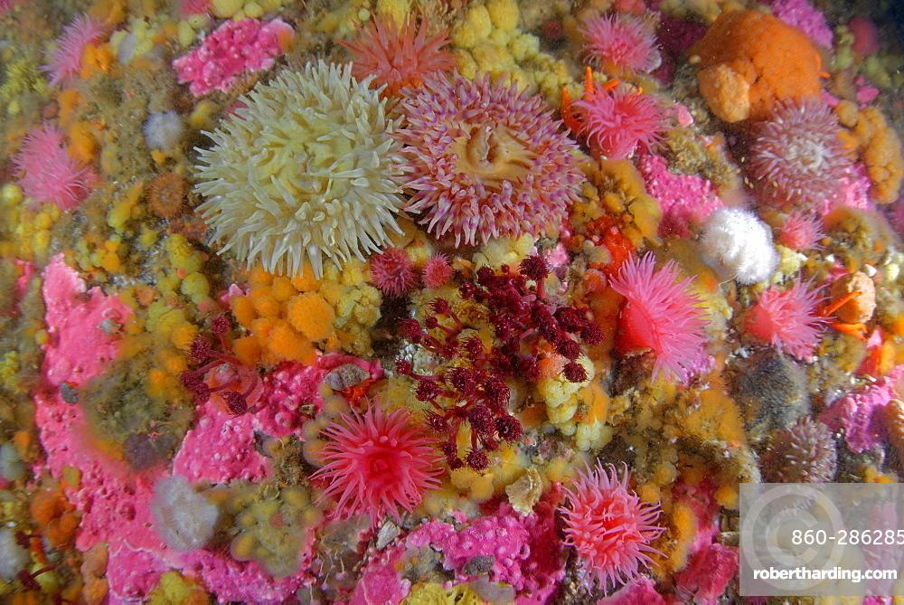 Sea anemones and Sponges on the reef, Alaska Pacific Ocean