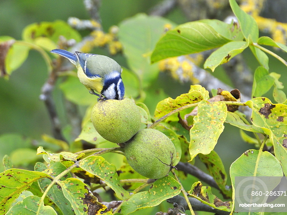 Blue Tit eating a nut, France