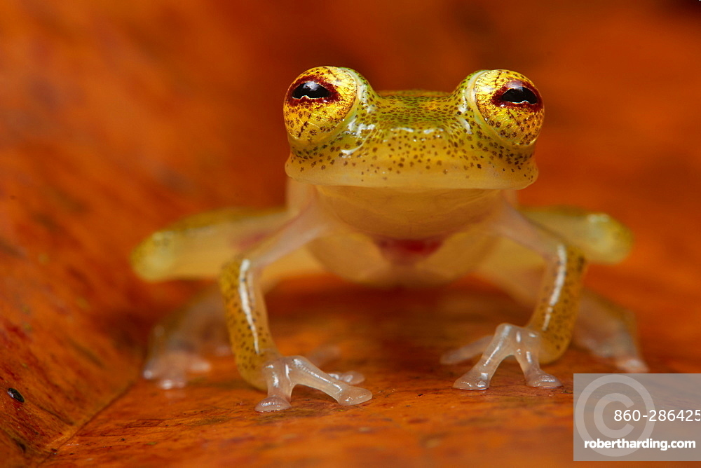 Glass Frog, Monkeys Mountain French Guiana