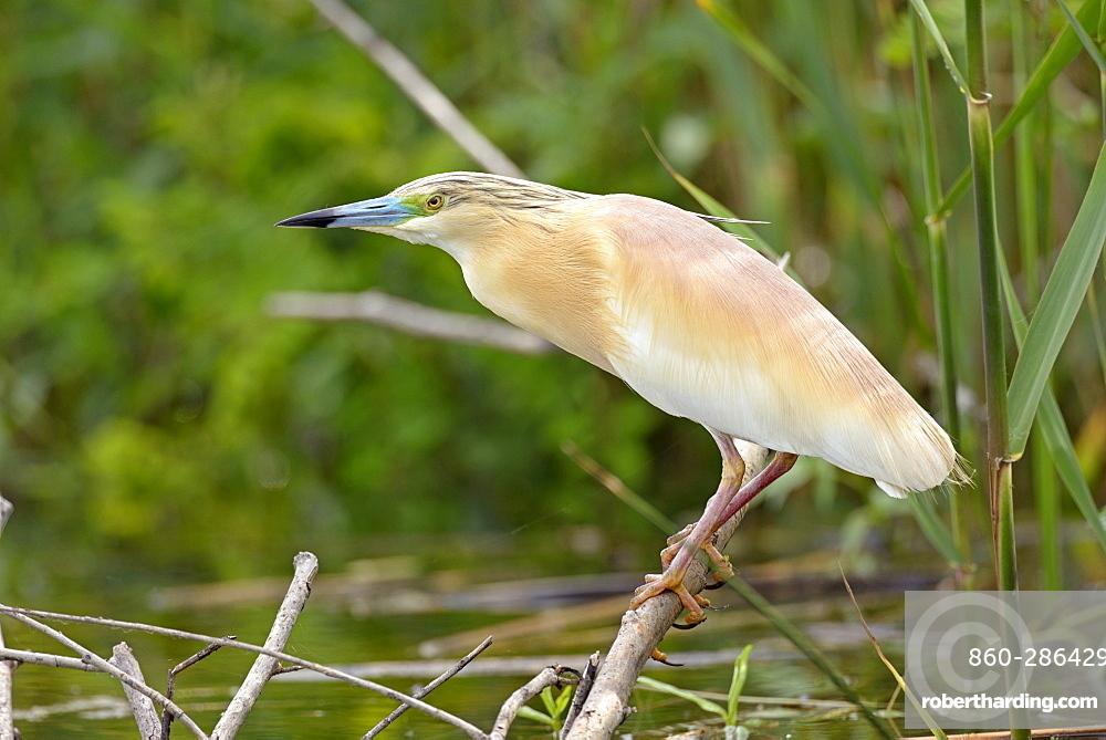 Squacco Heron on a branch , Danube Delta Romania