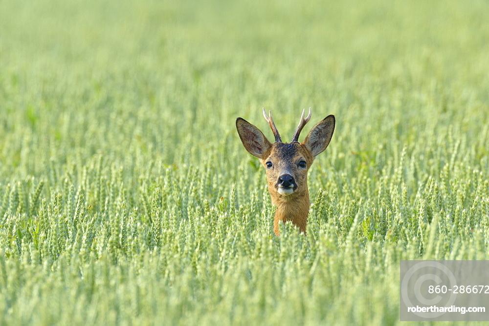 Western Roe Deer (Capreolus capreolus) in Corn Field, Roebuck, Hesse, Germany, Europe