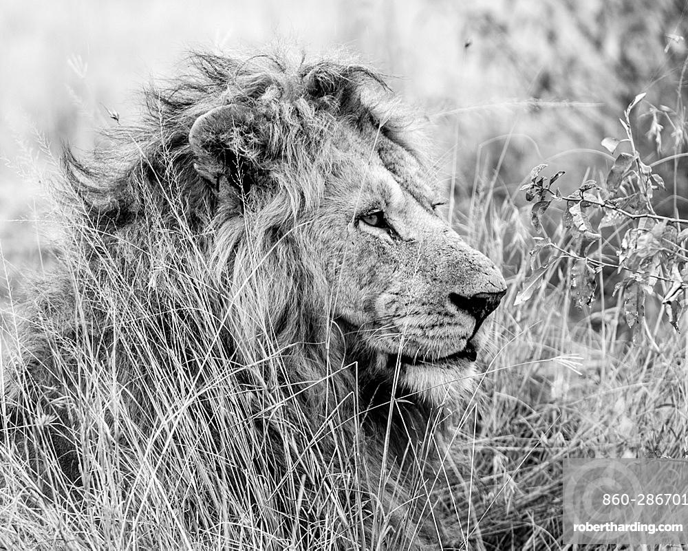 Son of Nodge the lion, Masai Mara, Kenya