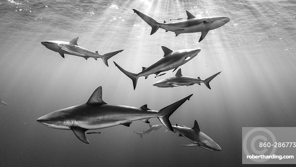 Caribbean reef shark (Carcharhinus perezii), Gardens of the Queen, Cuba)