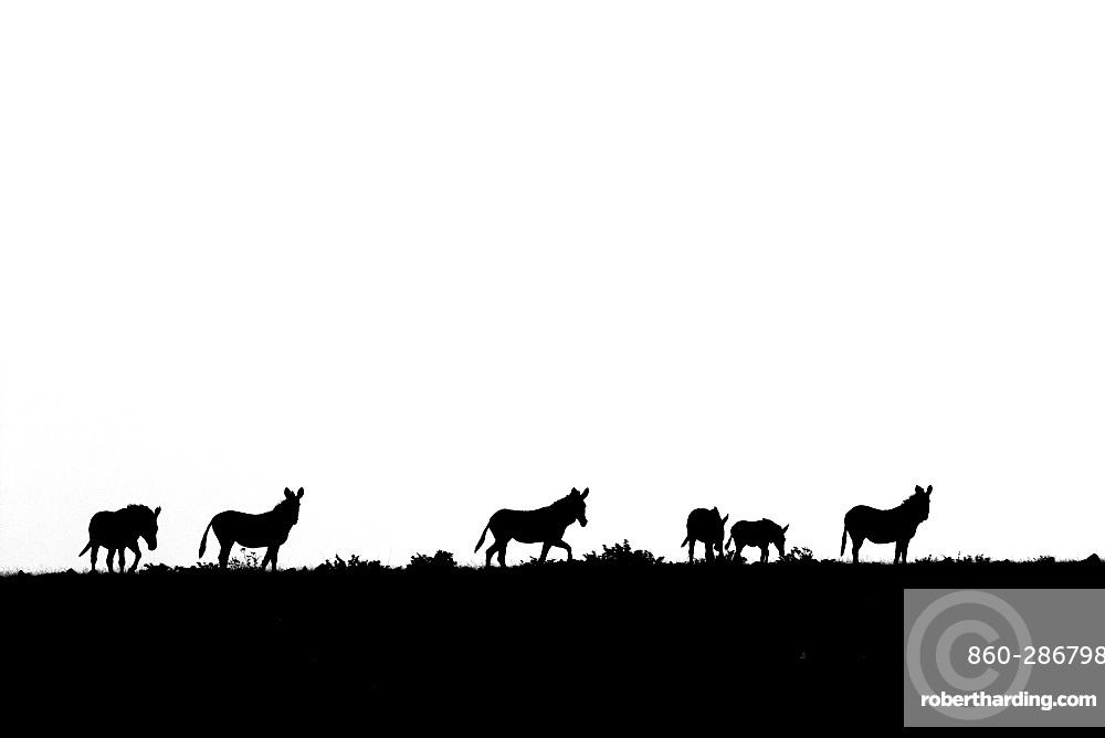 Mountain zebra (Equus zebra) walking on a ridge, Namibia