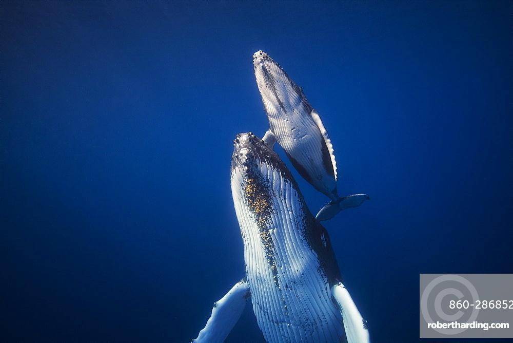 Humpback whales (Megaptera novaeangliae), Indian Ocean, Reunion