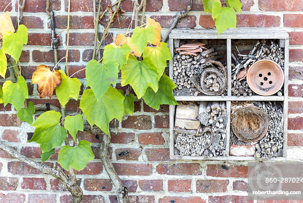 Virginia creeper (Parthenocissus sp) and Insect hotel on a brick wall, autumn, Somme, France