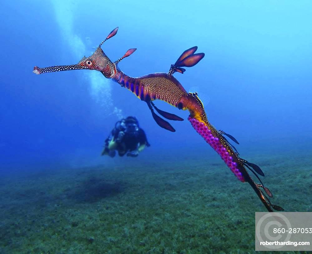 Weedy seadragon or common seadragon, Phyllopteryx taeniolatus. Male carrying the eggs. Like seahorses, seadragon males are the sex that cares for the developing eggs. Females lay around 120 eggs onto the brood patch located on the underside of the males' tail. The eggs are fertilised and carried by the male for around a month before the hatchlings emerge. Australia
