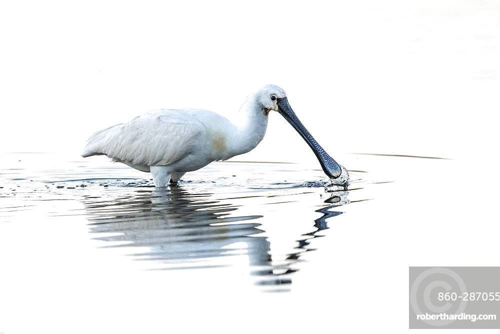 White spoonbill (Platalea leucorodia) fishing in summer, Crotoy marsh, Le Crotoy, Somme, Somme, Picardie, Hauts-de-France, France