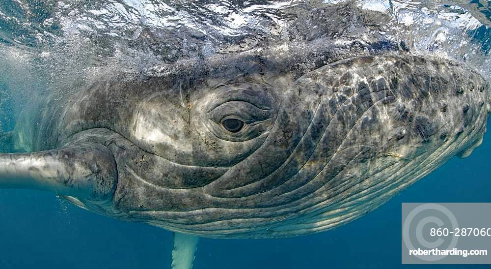 Humpback whale (Megaptera novaeangliae) Calf playing with photographer, Tonga Island, Vava'u, Pacific Ocean