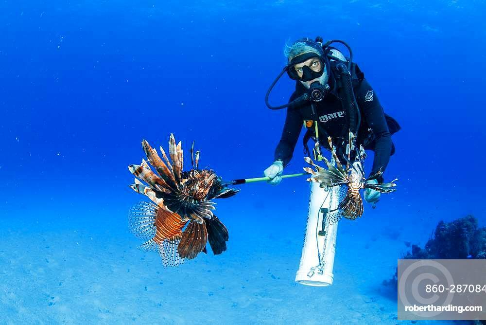 Scuba diver hunting the Invasive lionfish, alien species (Pterois volitans) caught to feed the crocodiles, Chinchorro Banks (Biosphere Reserve), Quintana Roo, Mexico