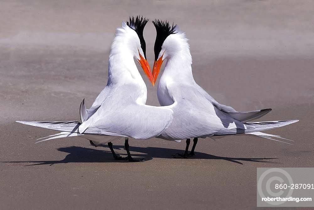 Royal tern (Thalasseus maximus), Courtship ritual, Magdalena Bay (Madelaine Bay), Puerto San Carlos, Baja California Sur, Mexico