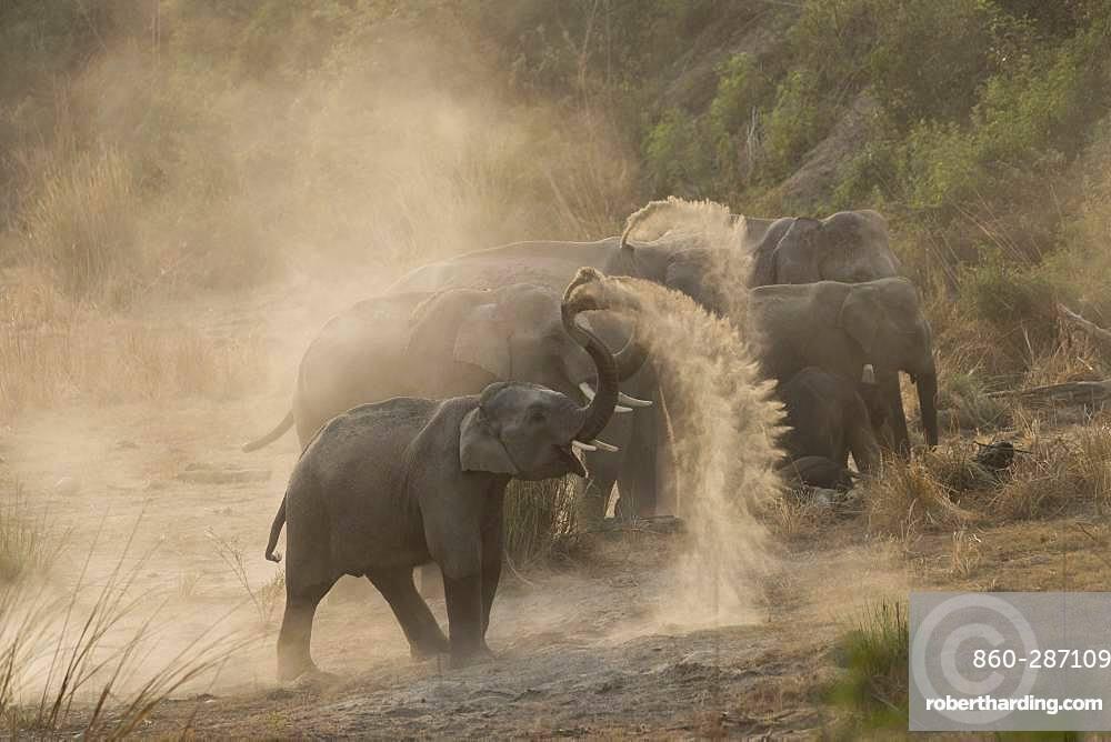 Asian or Asiatic elephant (Elephas maximus), dust bath, Jim Corbett National Park, Uttarakhand, India