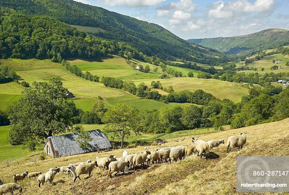 Flock of sheep and Pyrenean Mountain Dog in late summer, Valley of St. Paul Salers (Recusset), Monts du Cantal, Regional Natural Park of Auvergne Volcanoes, France