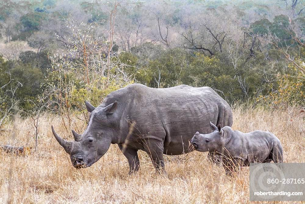 Southern white rhinoceros (Ceratotherium simum simum), Kruger National park, South Africa