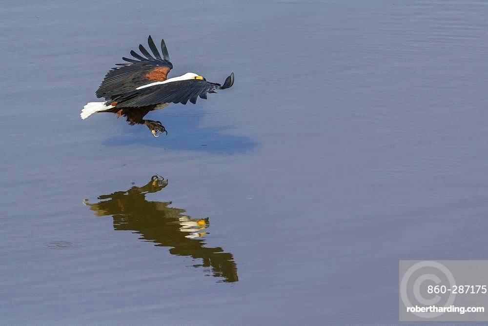 African fish eagle (Haliaeetus vocifer) fishing, Kruger National park, South Africa