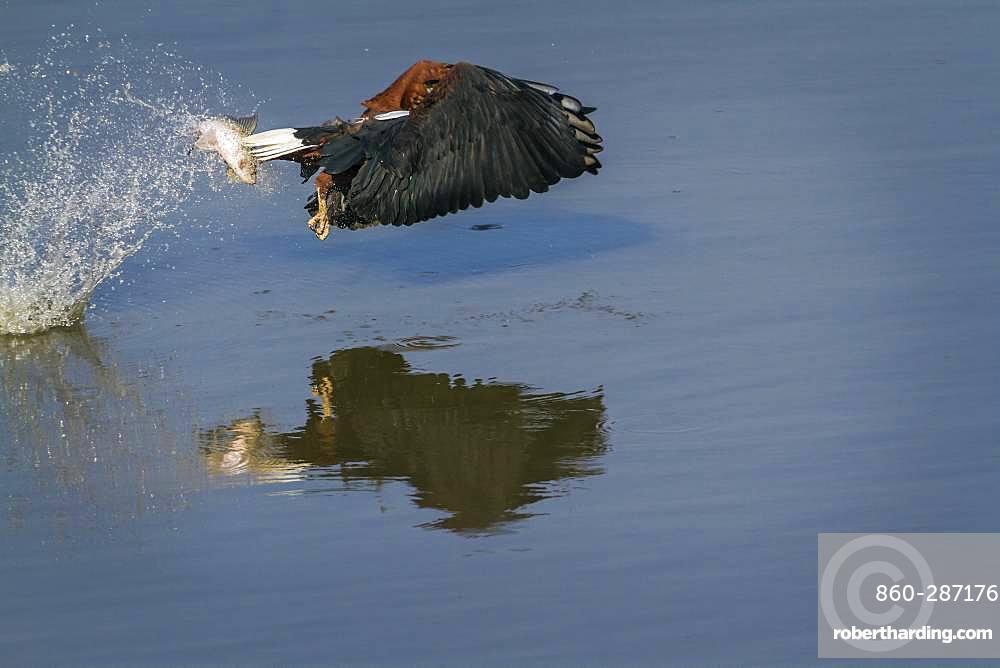 African fish eagle (Haliaeetus vocifer) catching a fish, Kruger National park, South Africa