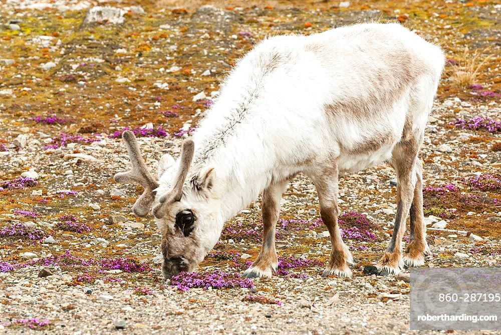 Svalbard Reindeer (Rangifer tarandus platyrhynchus) and Saxifrage (Saxifraga oppositifolia), Svalbard