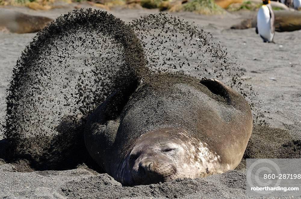 Southern elephant seal (Mirounga leonina) blowing sand to cool off, South Georgia